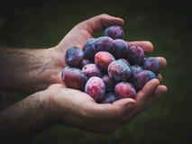 Mains tenant les prunes fraîches images stock
