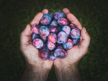 Mains tenant les prunes fraîches photos libres de droits
