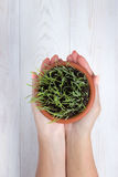 Mains tenant un pot avec l'herbe verte Photographie stock