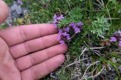 Mains touchant le thym doucement Herbes sauvages de montagne images libres de droits