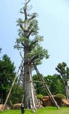 Maintenance and care to moved large  tree. Big tree was moved and transplant for good mateur landscape Stock Photos