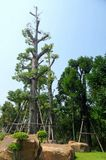 Maintenance and care to moved large  tree. Big tree was moved and transplant for good mateur landscape Stock Images