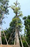 Maintenance and care to moved tree. Big tree was moved and transplant for landscape Stock Image
