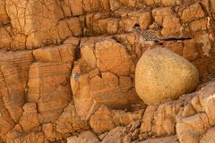 Maior assento do cuco terrestre australiano em um Boulder no parque nacional de Vale da Morte da máscara imagens de stock royalty free