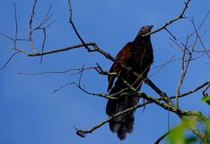Maior coucal Fotografia de Stock