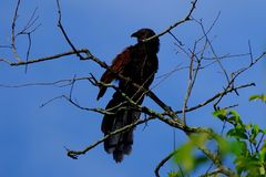 Maior coucal Fotos de Stock