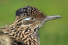Maior detalhe do roadrunner Fotografia de Stock Royalty Free