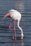 Maior flamingo Fotografia de Stock