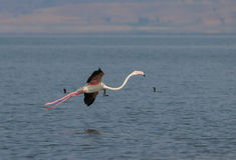Maior flamingo Imagens de Stock Royalty Free