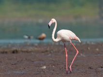 Maior flamingo Foto de Stock Royalty Free
