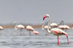Maior flamingo Fotografia de Stock Royalty Free