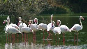 Maior flamingo Fotos de Stock Royalty Free