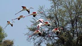 Maior flamingo Fotos de Stock