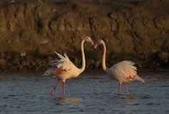 Maior flamingo de Gujarat, Índia Fotografia de Stock Royalty Free