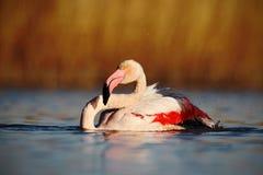 Maior flamingo do pássaro grande cor-de-rosa agradável, ruber de Phoenicopterus, na água, com sol da noite, Camargue, França Imagem de Stock