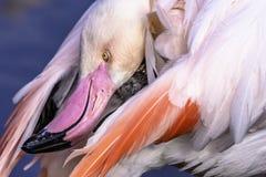 Maior flamingo próximo acima do retrato com a cabeça torcida que alcança sua cauda foto de stock royalty free