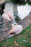 Maior flamingo que enfeita-se suas penas Imagens de Stock Royalty Free