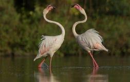 Maior flamingo que luta pelo alimento em Gujarat, Índia fotos de stock