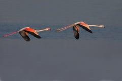 Maior flamingo (roseus de Phoenicopterus). Imagens de Stock