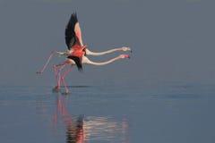 Maior flamingo (roseus de Phoenicopterus). Imagem de Stock Royalty Free