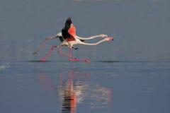 Maior flamingo (roseus de Phoenicopterus). Fotos de Stock