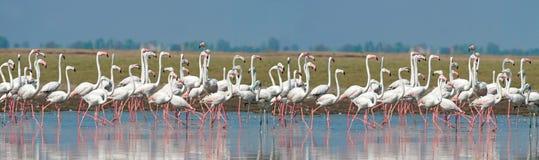 Maior formação dos flamingos imagens de stock royalty free