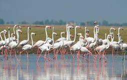 Maior formação dos flamingos imagem de stock royalty free