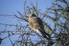 Maior francelho (rupicoloides de Falco) no parque nacional de Etosha, Namíbia fotos de stock