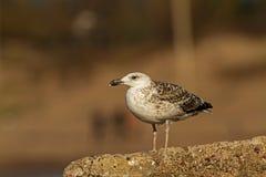 Maior gaivota com o dorso negro na pedra Foto de Stock
