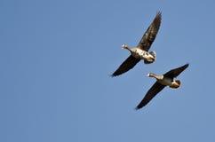 Maior ganso de peito branco que chama ao voar em um céu azul imagens de stock royalty free