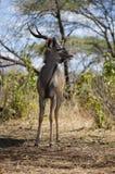 Maior kudu Imagens de Stock Royalty Free