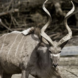 Maior Kudu Imagem de Stock Royalty Free