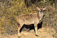 Maior Kudu Foto de Stock Royalty Free