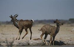 Maior Kudu masculino que pula com susto no waterhole imagem de stock royalty free