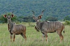 Maior Kudu masculino; Strepsiceros do Tragelaphus que levanta para turistas na tutela África do Sul de Entabeni Imagem de Stock