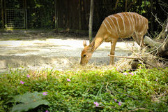 Maior Kudu no jardim zoológico de Singapura Fotos de Stock Royalty Free