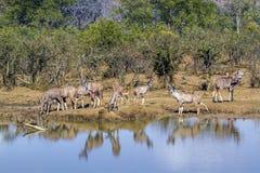 Maior kudu no parque nacional de Kruger, África do Sul Imagens de Stock