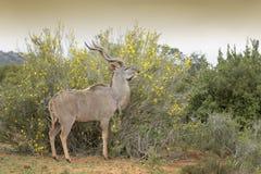 Maior Kudu que come flores imagem de stock royalty free