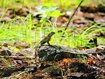 Maior lagarto da orelha-menos imagens de stock