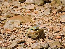 Maior lagarto da orelha-menos foto de stock