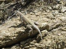 Maior lagarto Earless Imagens de Stock