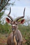 Maior macho de Kudu (strepsiceros do Tragelaphus) fotos de stock royalty free