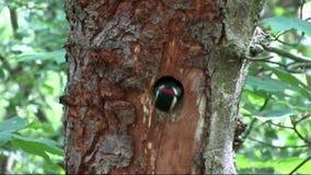 Maior ninho manchado do pica-pau video estoque