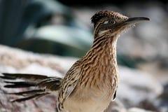 Maior pássaro do Roadrunner Fotografia de Stock
