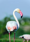 Maior retrato do flamingo - roseus de Phoenicopterus Foto de Stock Royalty Free