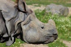 Maior rinoceronte um-horned indiano Imagem de Stock