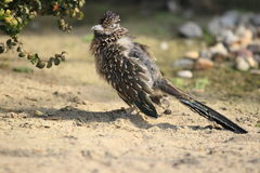Maior roadrunner Fotos de Stock