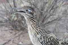 Maior Roadrunner (californianus do Geococcyx) Fotos de Stock