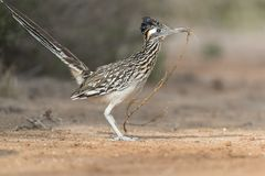 Maior Roadrunner em Rio Grand Valley de Texas do sul, EUA foto de stock royalty free