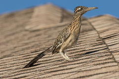 Maior Roadrunner no telhado fotos de stock royalty free